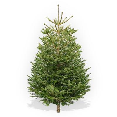 Nordman Fir Christmas Tree - Edwards Dairy, Chirk